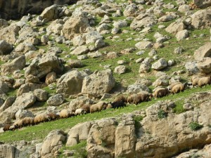 Sheep grazing, on the road from Erbil to Gelly Ali Beg Waterfall in Northern Iraq (Photo credit: Beth Kangas)